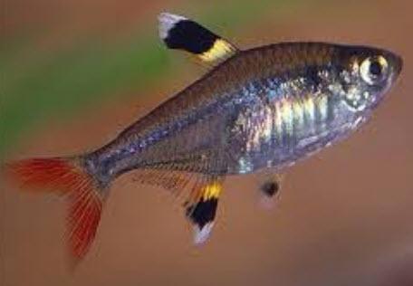Содержание и разведение аквариумных рыбок пристелла