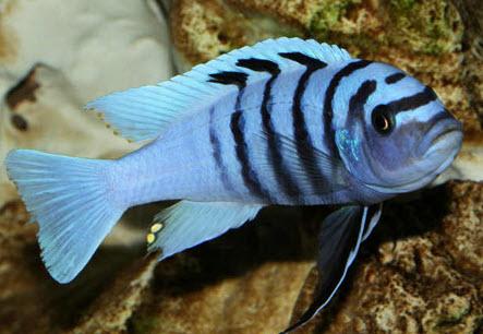 Содержание и разведение аквариумных рыбок псевдотрофеус зебра