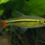 Содержание и разведение аквариумных рыбок расбора краснохвостая.