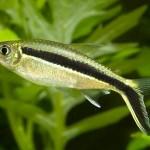 Аквариумные рыбы тайерия бэлкет