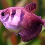 фото рыбок тернеций