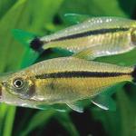 Аквариумные рыбки тетра шольца
