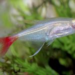 Аквариумные рыбы тетра стеклянная (прионобрама)