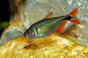 Аквариуные рыбы тетрагоноптерус