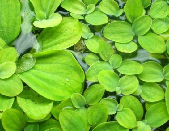 водный салат (Пистия)
