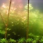Цветение воды в аквариуме
